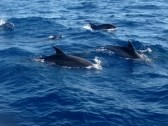 6575301-dolphins-swimming